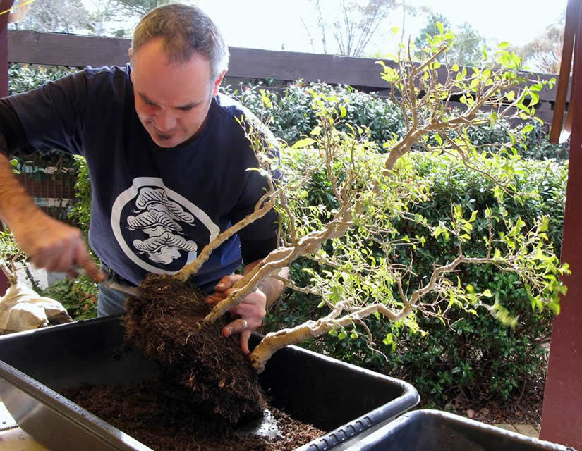 young bonsai canberra short course