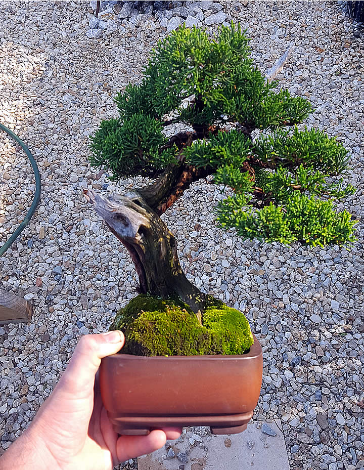 young bonsai canberra hire