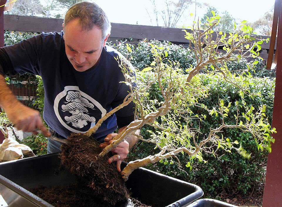 young bonsai canberra maintenance 02